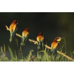 Quatuor à plumes