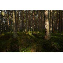 Forêt écossaise