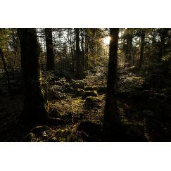 Forêt au lever du jour