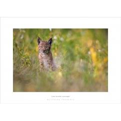 Lynx boréal sauvage