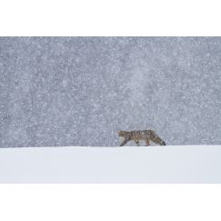 Chat forestier sous les flocons