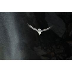 Fulmar boréal - Ecosse