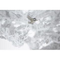 L'envol de la mésange noire