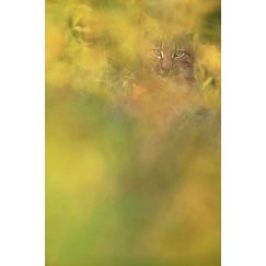 Jeune Lynx boréal sauvage